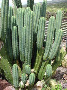 Cactus SanPedro e pratica sciamanica