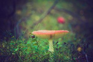 Amanita muscaria o fungo delle streghe e sciamani