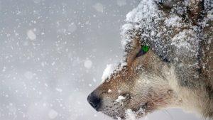 Animale di potere lupo possibile incontrarlo anche spontaneamente?