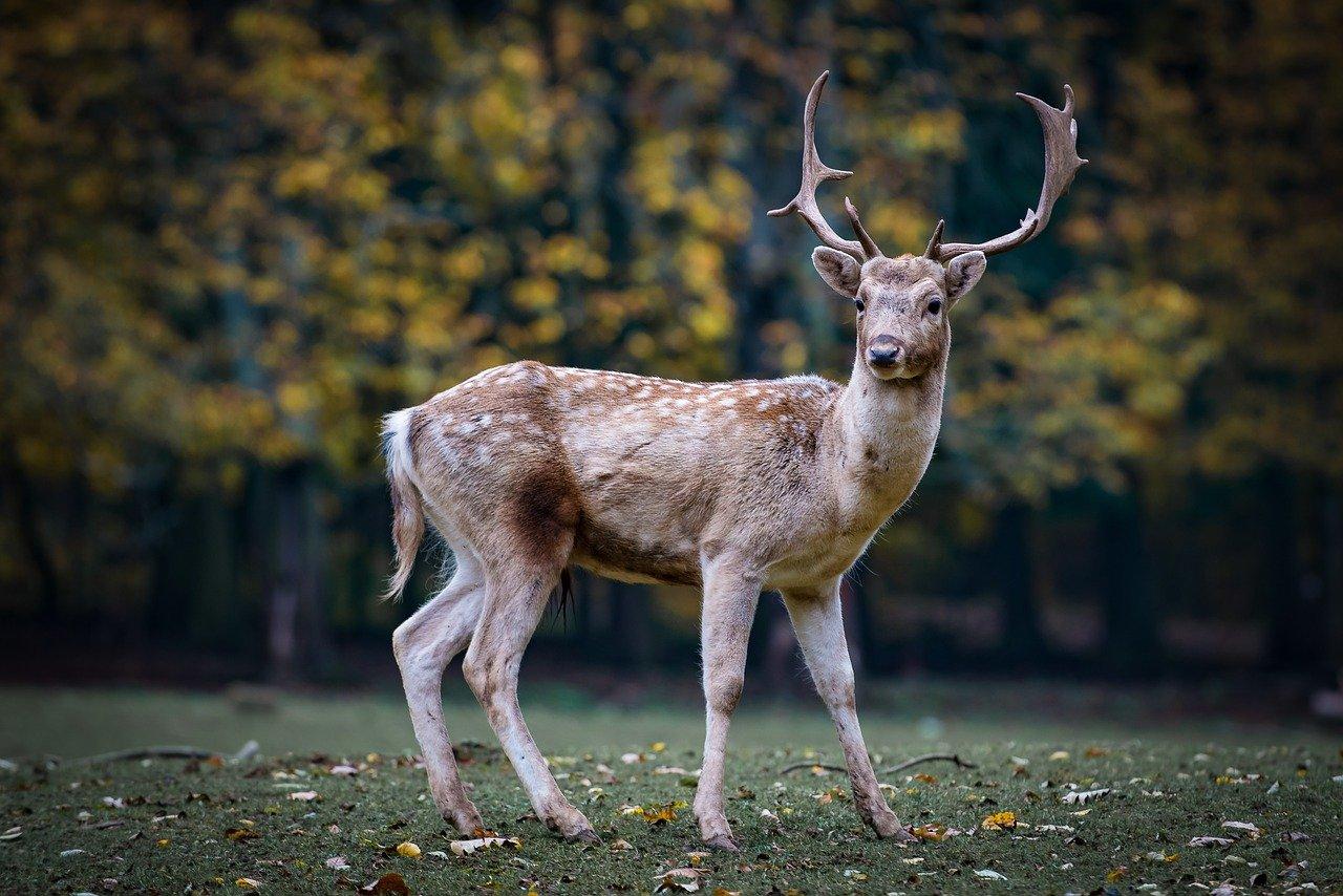 Ho incontrato un cervo, cosa significa il cervo?