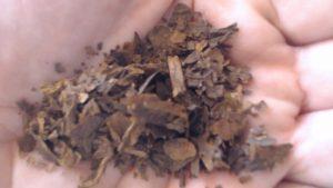 La foglia di Mapacho (Nicotiana Rustica) sembra in realtà una foglia secca sbriciolata