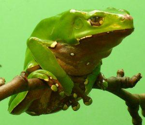 Questa sostanza, si estrae da una rana, una rana specifica (Phyllomedusa bicolor)
